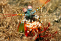 Mantis Shrimp Royalty Free Stock Photos - 7225378