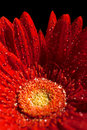 Red Gerber Flower Royalty Free Stock Images - 7226649