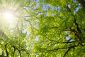 Lush Green Spring Branches Of Oak Tree Stock Photo - 72230270