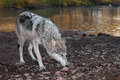 Grey Wolf (Canis Lupus) Deep Sniff Royalty Free Stock Photos - 72272808