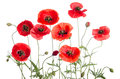 Red Poppies Stock Photography - 72298982