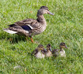 Resting Ducklings Stock Image - 7230791