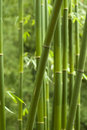 Bamboo Forest Royalty Free Stock Photos - 7238298