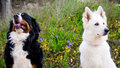 Greater Swiss Mountain And White Swiss Shepherd Dogs Royalty Free Stock Image - 72325036
