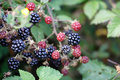 Beautiful Wild Blackberries Royalty Free Stock Images - 72370839