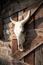 White Bull Skull Hanging On A Farm Wooden Barn Wall. Dead Animal Head Stock Images - 72377204