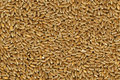 Hard Red Winter Wheat Grain Royalty Free Stock Photography - 7244957