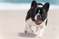 French Bulldog On The Beach Stock Photo - 72419910