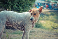 Thai Stray Dog Royalty Free Stock Photo - 72430895