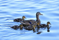 Mother Mallard With Ducklings Royalty Free Stock Image - 72469026