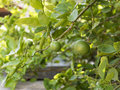 Lime Tree Stock Photography - 72494712