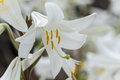 White Lily With Blurred Background Royalty Free Stock Images - 72505739