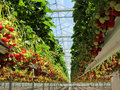 Fresh Dutch Strawberry In A Greenhouse Royalty Free Stock Photo - 72556545