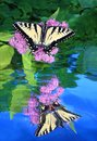 Eastern Tiger Swallowtail Butterfly Reflection Royalty Free Stock Photography - 72564447