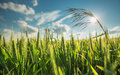 Green Wheat Field Stock Images - 72566784