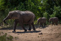 Two Baby Elephants Following Mother Through Bushes Stock Photography - 72588492