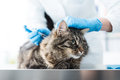 Veterinarian Giving An Injection To A Pet Royalty Free Stock Photos - 72629388