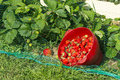 Strawberry Plants In The Garden Of The House And Strawberries Ha Stock Photo - 72636210