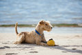 Dog Lying On The Beach With A Yellow Ball Stock Photo - 72642010