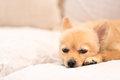 Tired And Sleepy Pomeranian Dog Stock Image - 72666401