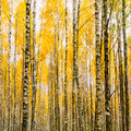 Birch Trees In Autumn Woods Forest. Yellow Foliage. Russian Fore Royalty Free Stock Photos - 72670688