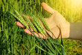 Farmers Hand Holding Wheat Ears Stock Images - 72720684