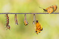 Life Cycle Of Tawny Coster Transform From Caterpillar To Butterf Royalty Free Stock Photo - 72761465