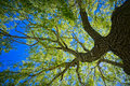 Oak Tree Stock Photo - 72775520