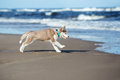 Brown Siberian Husky Puppy Running On A Beach Stock Photos - 72803103