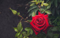 Bloody Rose And Drops Of Morning Dew. English Garden Stock Image - 72832301