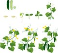 Cucumber Plant Growth Cycle Stock Images - 72849614