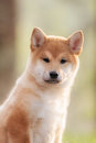 Beautiful Young Red Shiba Inu Puppy Dog On Car Royalty Free Stock Photography - 72859517