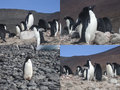 Adelie Penguins In Antarctica Collage Royalty Free Stock Photography - 72882397
