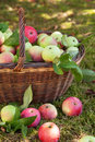 Autumnal apple harvest Royalty Free Stock Photography