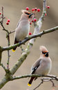 Bohemian Waxwing Stock Photos