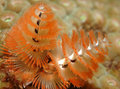 Christmas Tree Worm Royalty Free Stock Images - 7293149