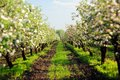 Blooming Apple Trees Garden With Green Grass At Sunset Stock Photography - 72901232