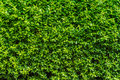 Perfect Countless Small Green Leafs Background Vegetation Wall Royalty Free Stock Photo - 72911255