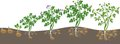 Potato Plant Growth Cycle Stock Photo - 72925840