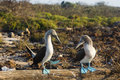 Two Blue-footed Boobies Doing A Mating Dance Royalty Free Stock Image - 72933016