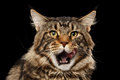 Closeup Portrait Licked Maine Coon Cat Face, Isolated Black Background Royalty Free Stock Image - 72940196