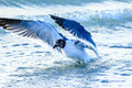 Laughing Gull Stock Image - 72959931