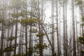 Trees With Fog And Mist. Horror Nature Royalty Free Stock Photos - 72999278