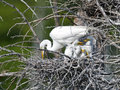 Great Egret And Chicks Stock Photos - 73019143