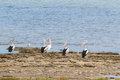 Australian Pelican Water Birds Resting On Waterfront At Coorong Royalty Free Stock Photo - 73027035