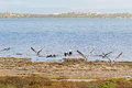 Australian Pelican Water Birds Flying Near Waterfront At Coorong Royalty Free Stock Image - 73032756