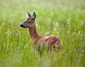 Doe In A Grass Field Royalty Free Stock Photography - 73036217