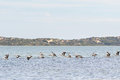 Large Australian Pelican Water Birds Flying In Line At Coorong N Royalty Free Stock Images - 73036679