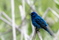 Beautiful Indigo Bunting Perched On A Reed In Soft Setting Stock Image - 73062561