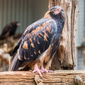Black-breasted Buzzard, Featherdale Wildlife Park, NSW, Australi Royalty Free Stock Images - 73078009